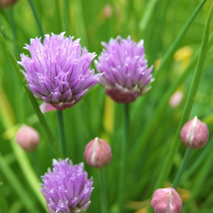 Allium schoenoprasum [0]