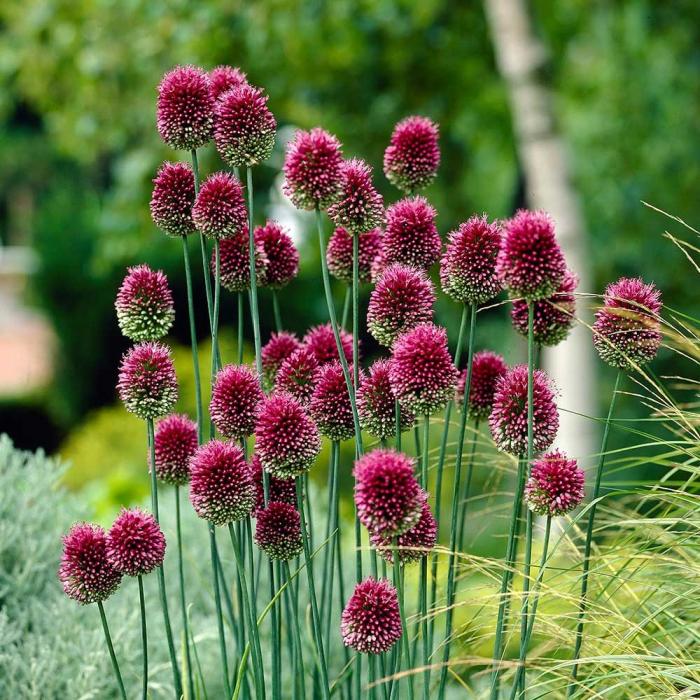 Allium sphaerocephalon [0]