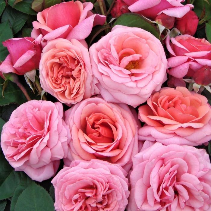 Trandafir Aloha® [0]