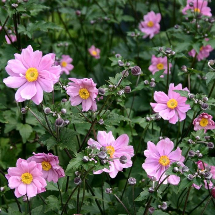 Anemone x hybrida-Spring Beauty Pink [0]