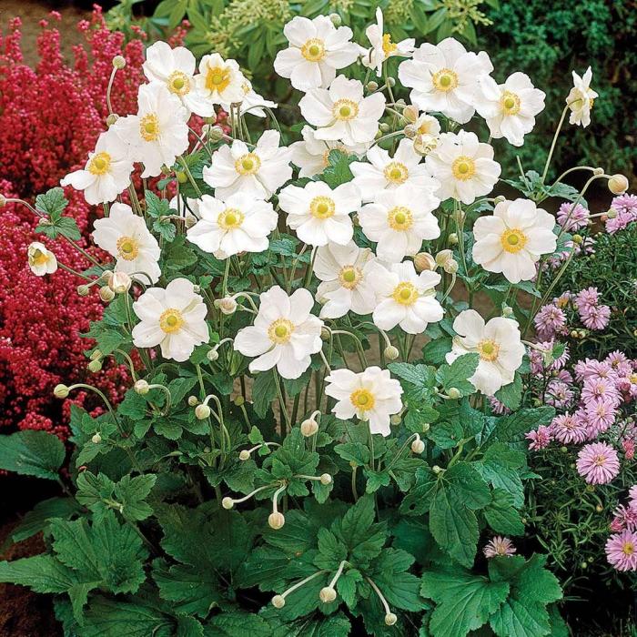 Anemone x hybrida-Summer Breeze 0