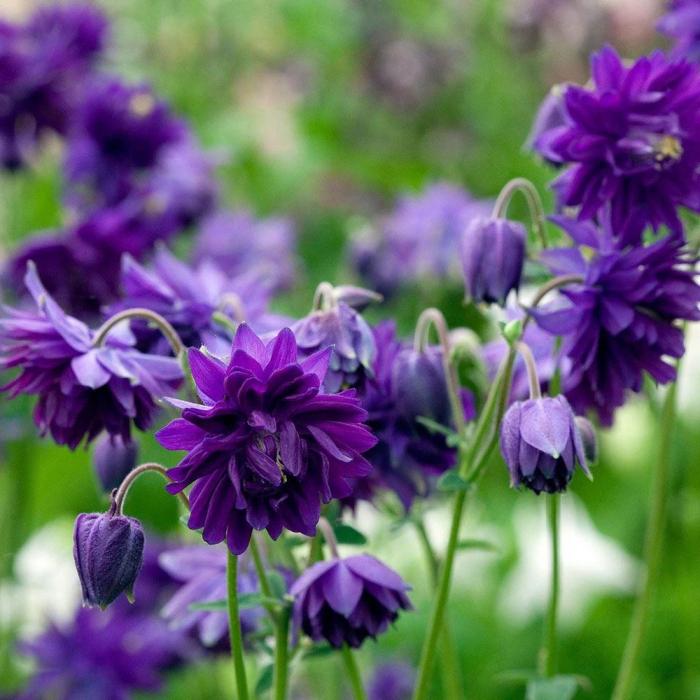 Aquilegia vulgaris -Blue Barlow 0