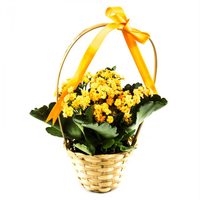Aranjament floral cos impletit cu Kalanchoe 1