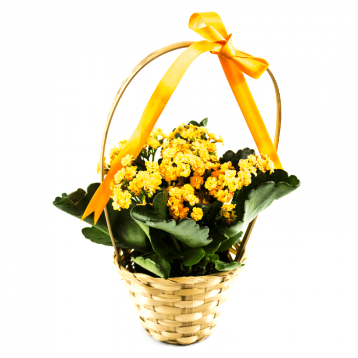 Aranjament floral cos impletit cu Kalanchoe 0