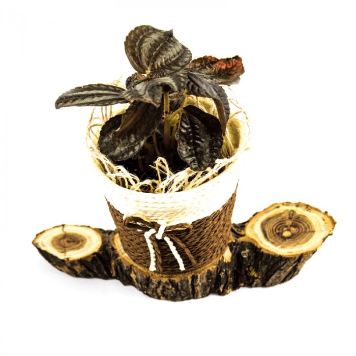 Aranjament floral cu Pilea si postament de salcam [0]