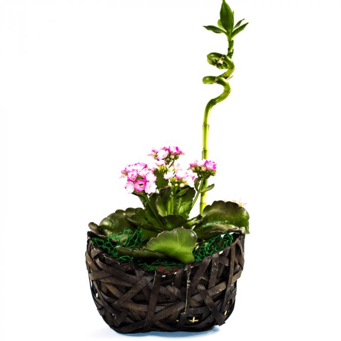 Aranjament floral Kalanchoe  cu bambus norocos 1