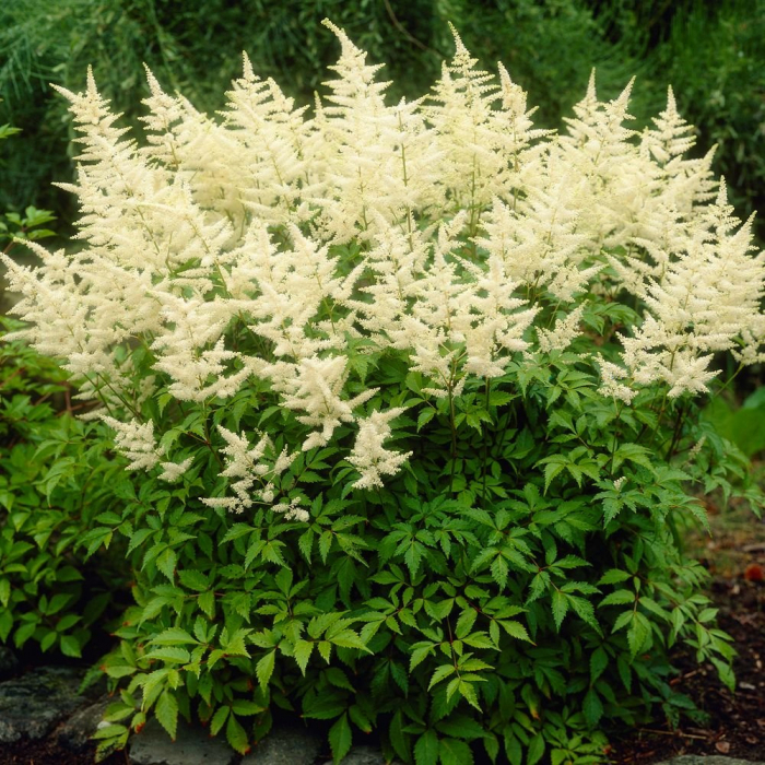 Astilbe chinensis-Vision In White 0