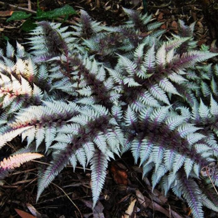 Athyrium niponicum 0