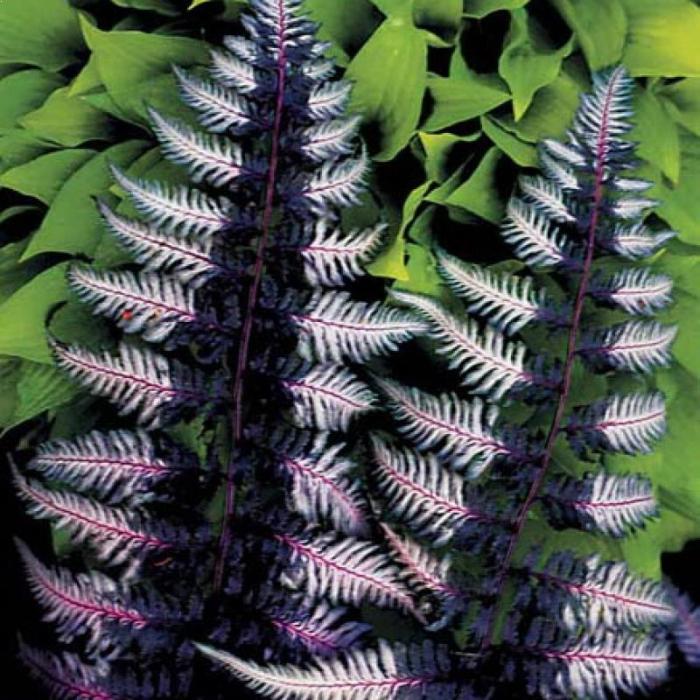 Athyrium niponicum Ursula's Red 1