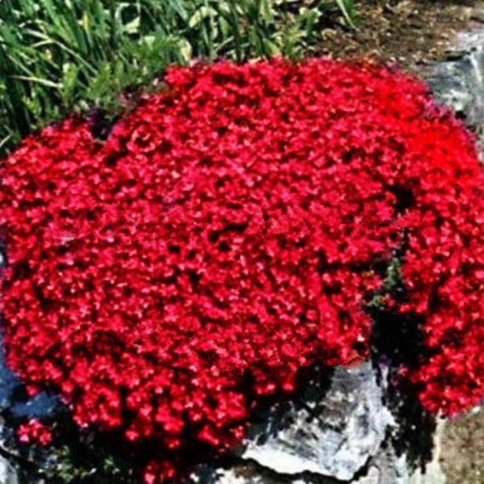 Aubrieta x hybrida red 0