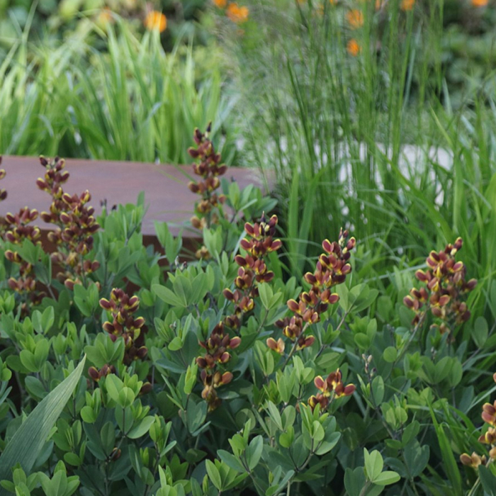 Baptisia australis-Chocolate Chip [0]