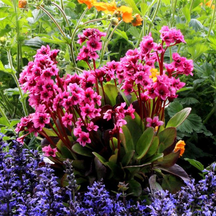 Bergenia cordifolia-Flirt® [0]
