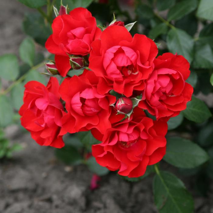 Trandafir Black Forest® [0]