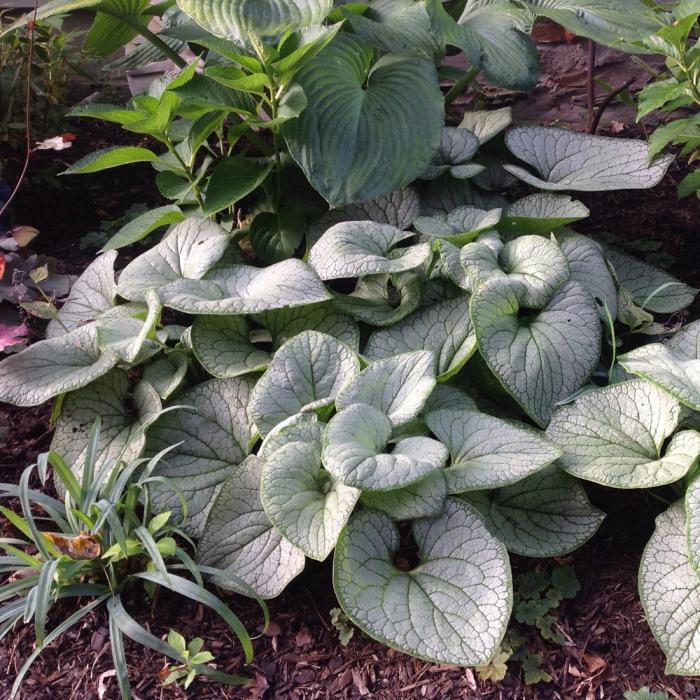 Brunnera macrophylla-Silver Heart 0