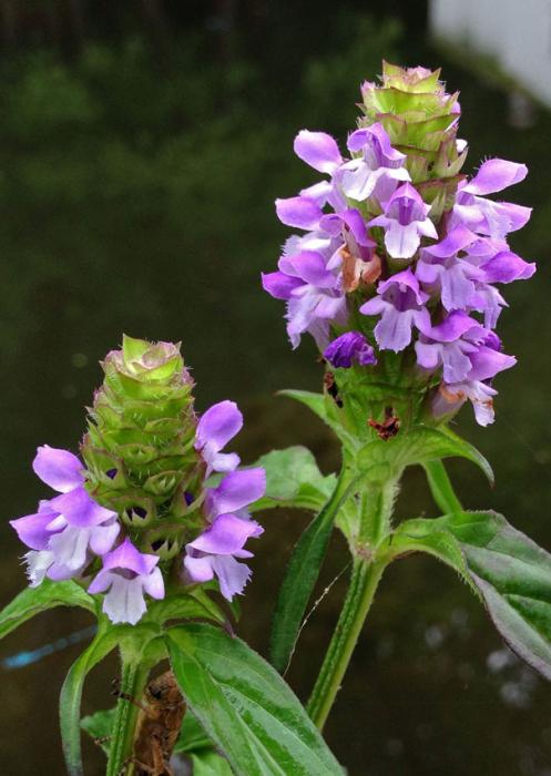 Busuioc de camp (Prunella grandiflora) 0