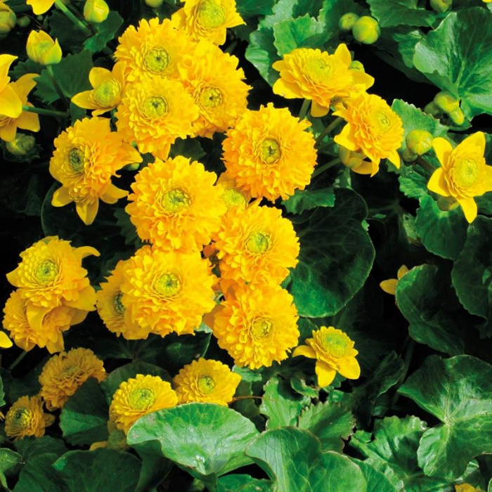 Caltha palustris 0