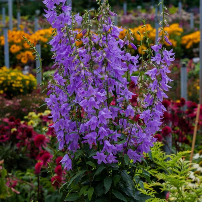 Campanula hybrida-Gaudi Violet 0