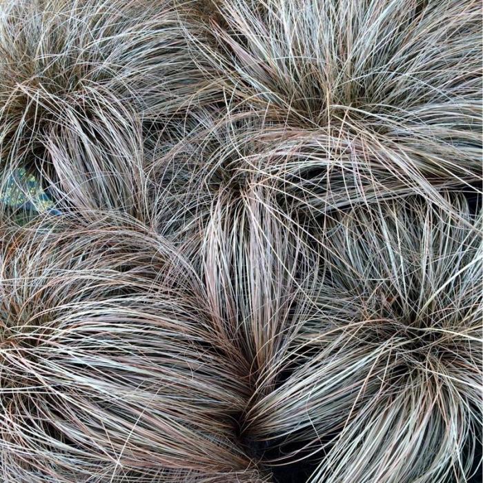 Carex comans 0