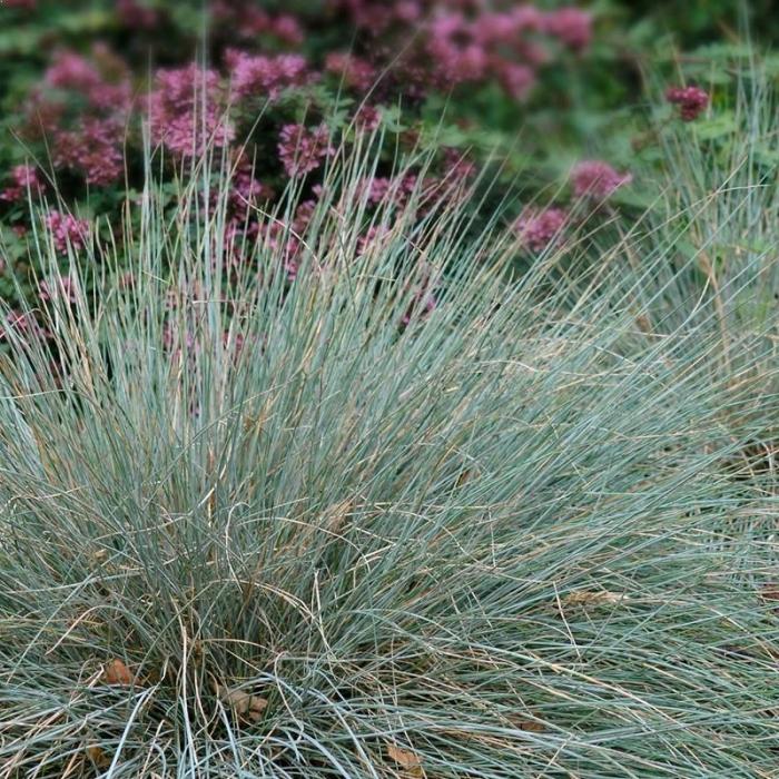 Carex glauca 0