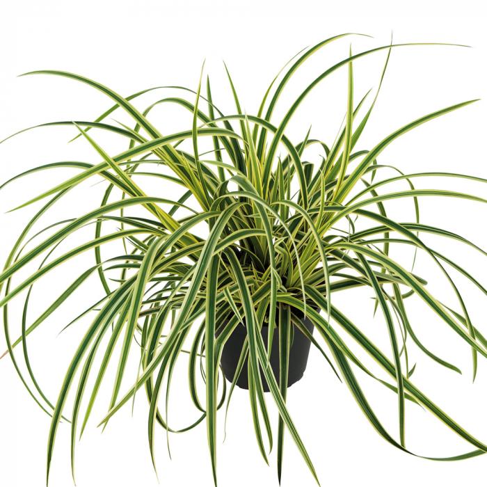 Carex morrowii-Vanilla Ice [0]