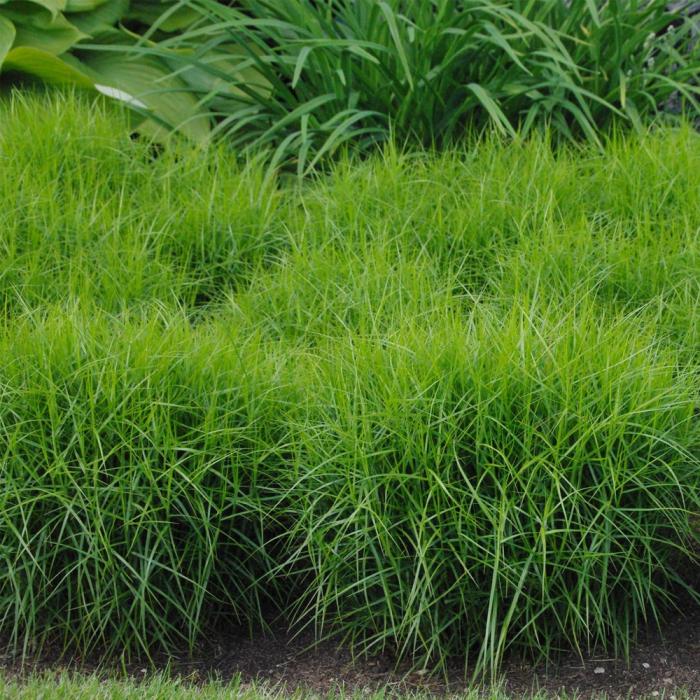 Carex muskingumensis-Little Midge [0]