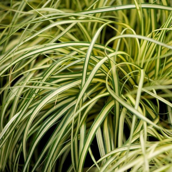 Carex oshimensis 1