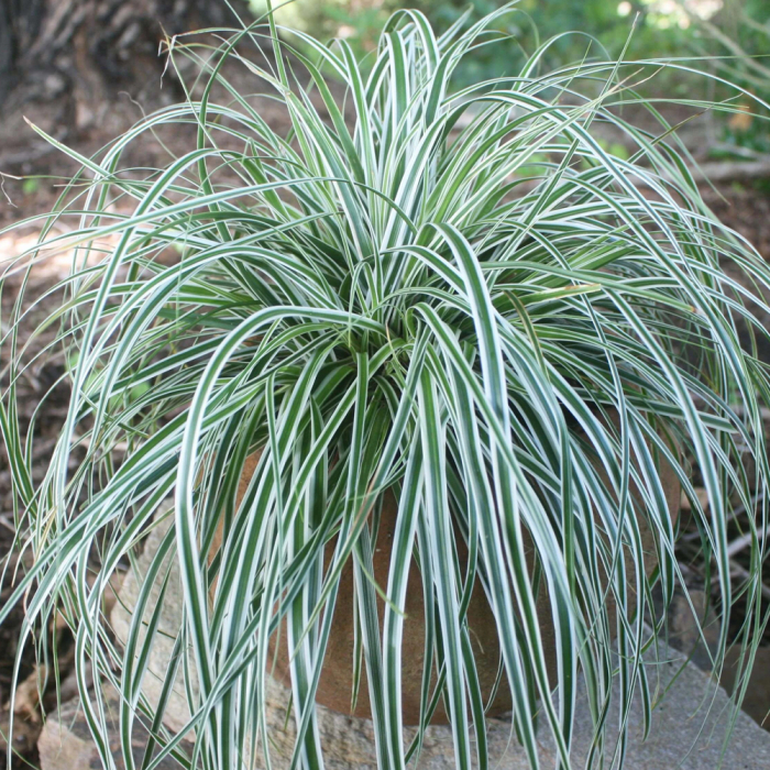 Carex oshimensis -Everest [0]