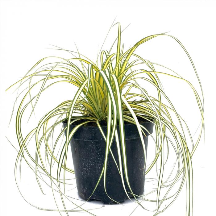 Carex oshimensis-Evergold 0