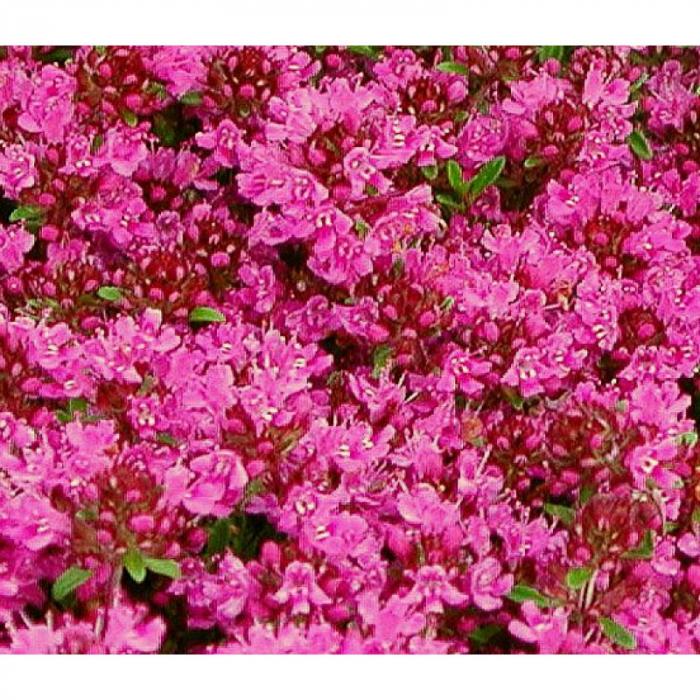 Cimbrisor de camp (Thymus serpyllum) 0