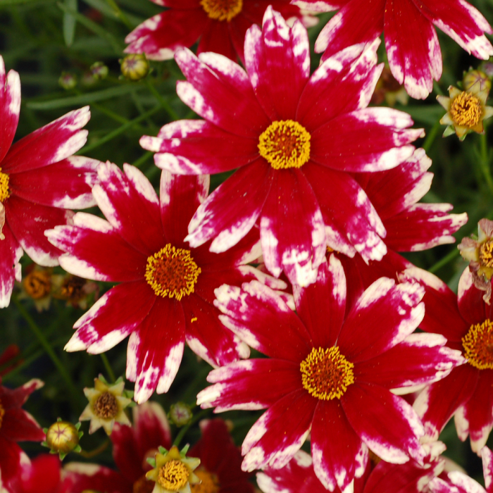 Coreopsis verticillata-Ruby Frost® 0
