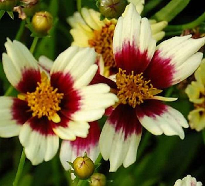 Coreopsis verticillata Snowberry 1
