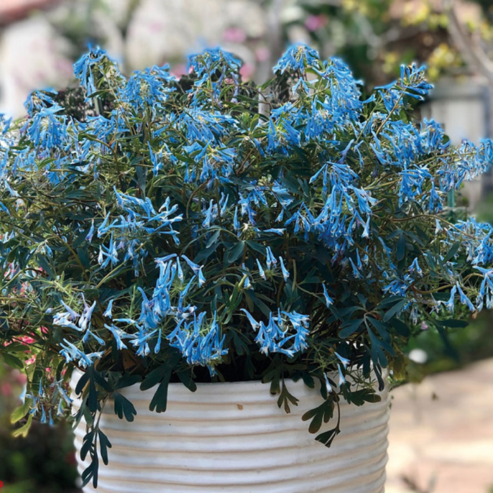 Corydalis flexuosa-Porcelain Blue® [0]