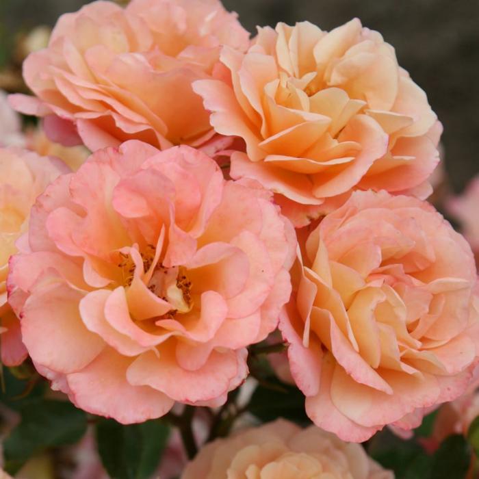 Trandafir Cubana® [0]
