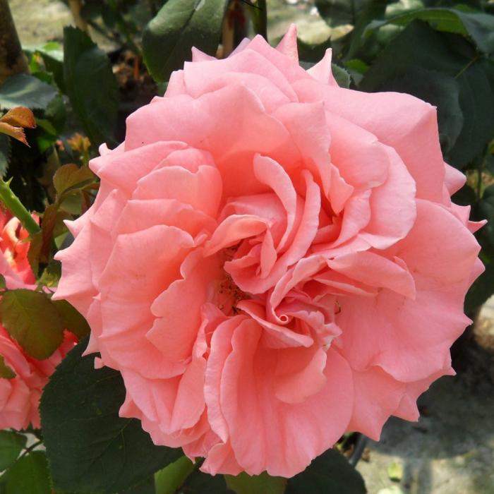 Trandafir-Dee Dee Bridgewater® [0]