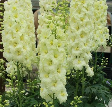 Delphinium belladonna 0