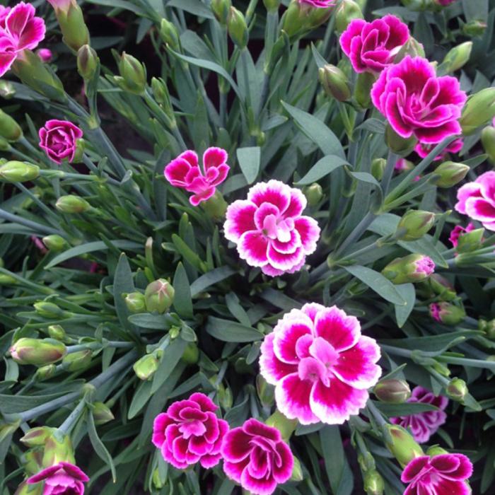 Dianthus hybrida-Dinetta mix® 0
