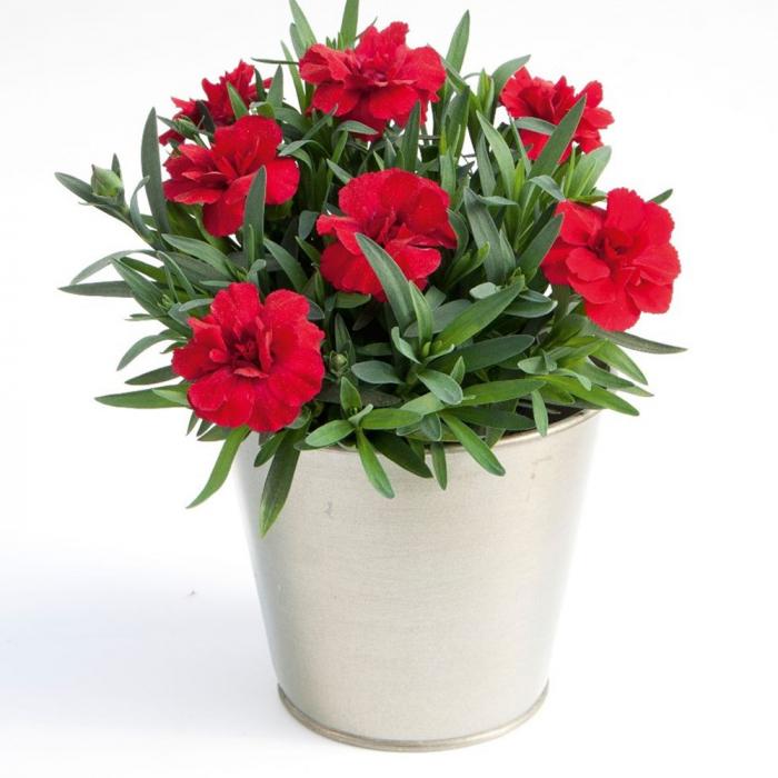 Dianthus hybrida-Oscar Cherry 0