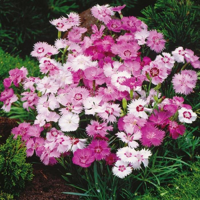 Dianthus plumarius 1