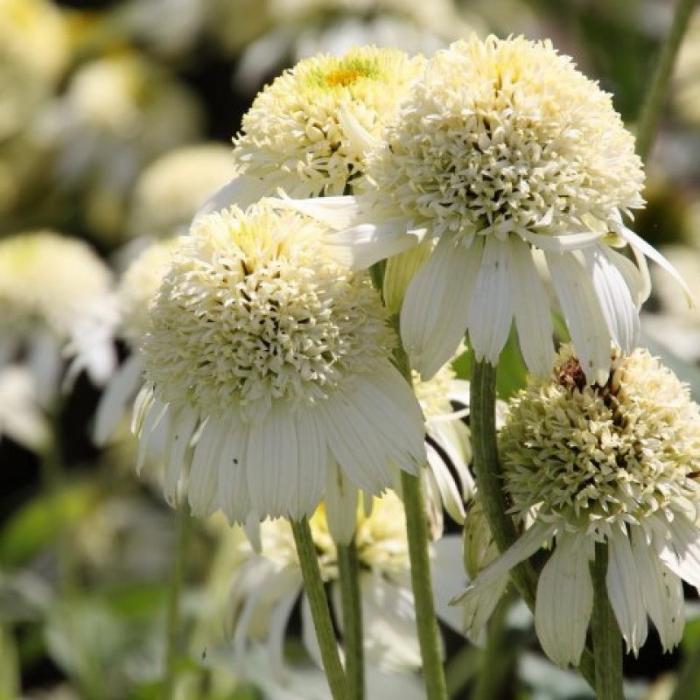 Echinacea hybrida meringue 0