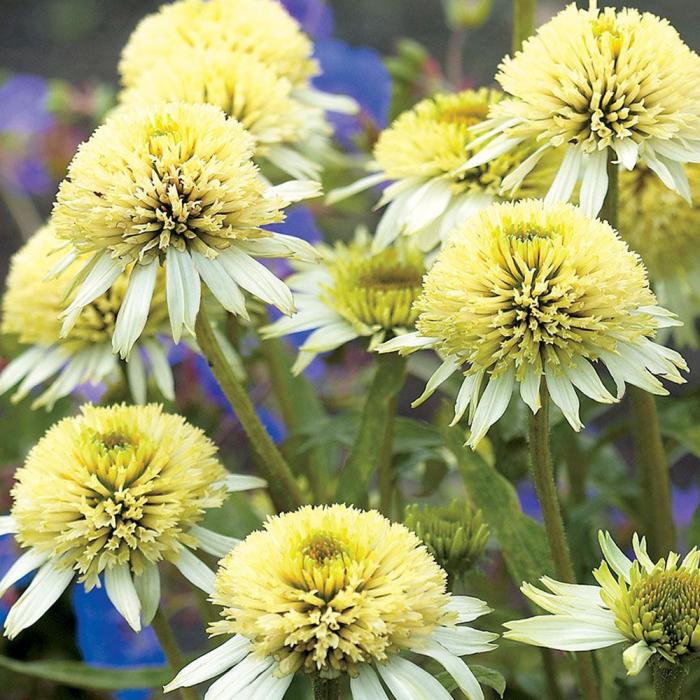 Echinacea hybrida-Meringue® 0