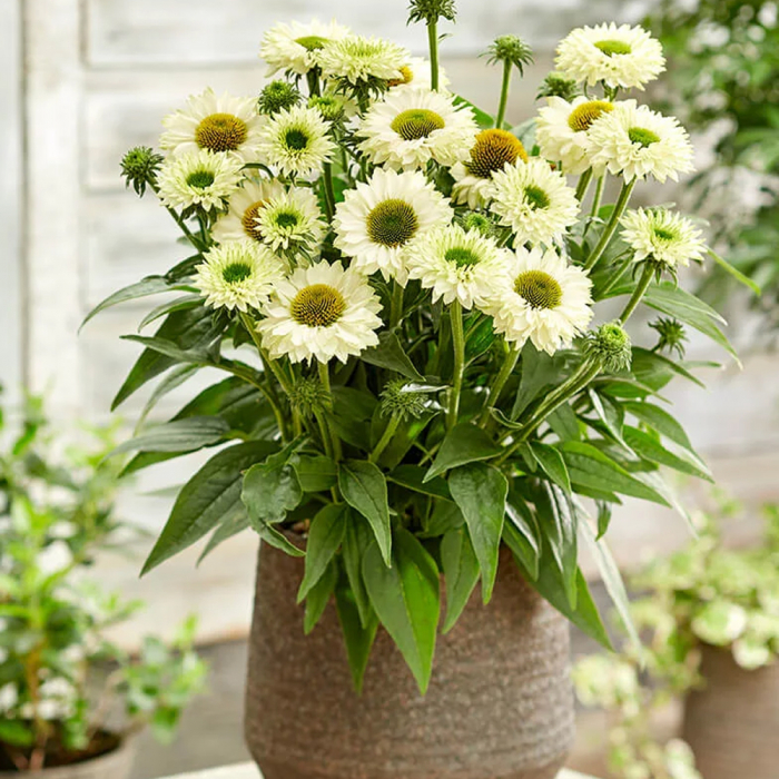 Echinacea hybrida-SunSeekers White Perfection 0