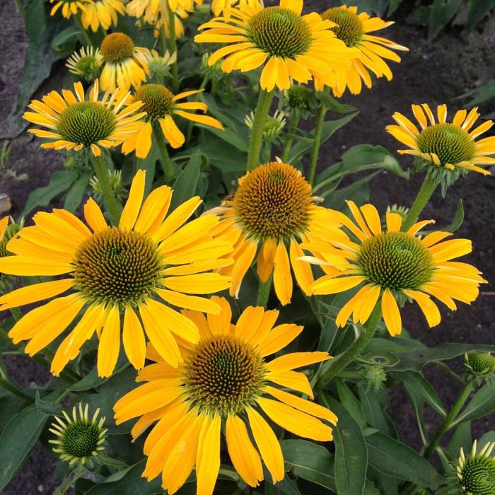 Echinacea hybrida-SunSeekers Yellow 0