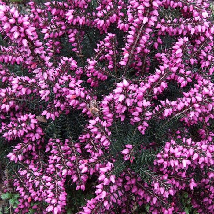 Erica x darleyensis 0