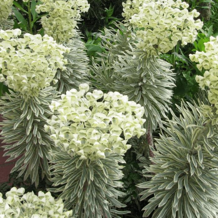 Euphorbia characias-Tasmanian Tiger 0