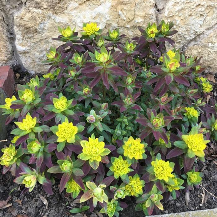 Euphorbia x polychroma-Bonfire® 0