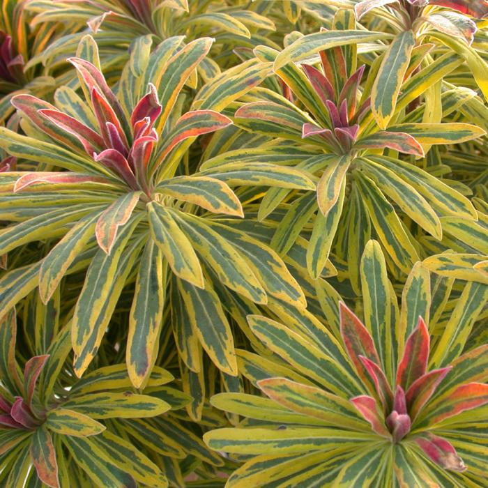 Euphorbia xmartinii-Ascot Rainbow® 0