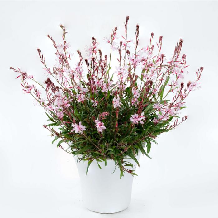 Gaura lindheimeri-Graceful Pink® [0]