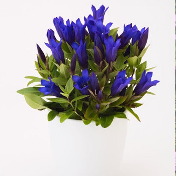 Gentiana triflora-Ashiro Shine Blue [0]
