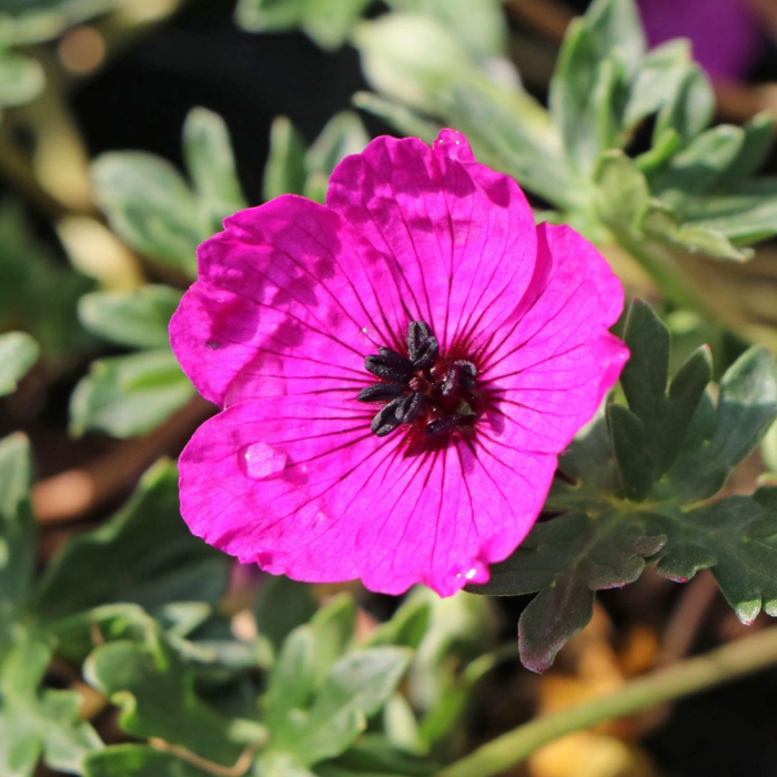 Geranium cinereum-Giuseppii 0