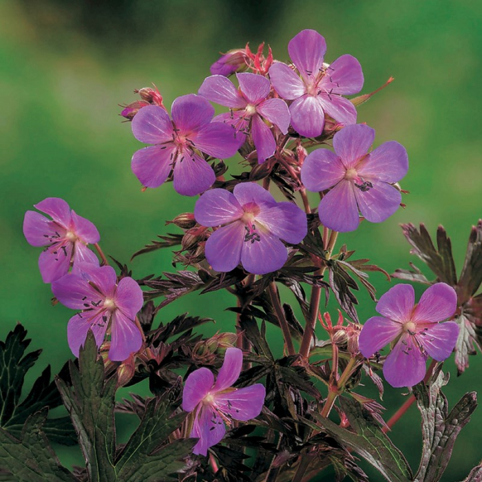 Geranium pratense Black Beauty 1